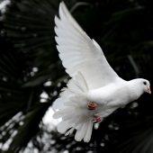 Foto von einer weißen Taube